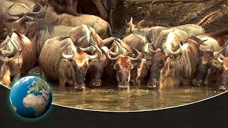 Download The greatest animal migration on earth Video