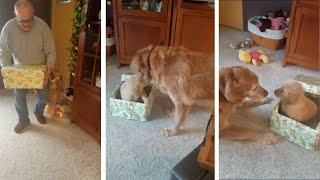 Download Dog Unwraps Puppy For Christmas Present Video