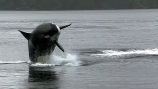 Download Sea Lion Vs 10 Killer Whales | Deadly 60 | BBC Earth Video
