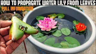 Download How To Grow Water Lily From Leaf ( WITH UPDATES ) Video