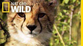 Download It is International Cheetah Day   Nat Geo WILD Video
