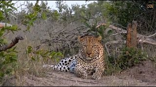 Download Safari Live : Hukumuri Male Leopard on drive this afternoon with Ralph May 04, 2018 Video