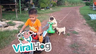 Download Pug Puppy Wants Back On The Motorcycle || ViralHog Video