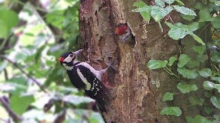Download Great Spotted Woodpecker Chicks 2019 Video