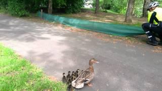 Download Rettung einer Entenfamilie in Köln Video