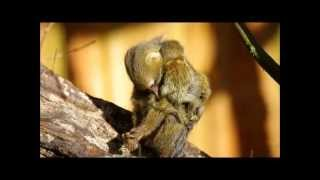 Download 6 day old pygmy marmoset twin @Apenheul Video