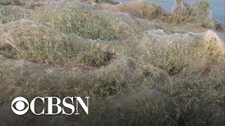 Download Yuck! Massive spiderweb blankets Greek beach Video