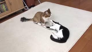 Download 蹴りが全く届かない猫とやたらと顔を触る猫 Video