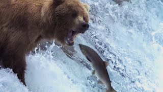 Download Grizzly Bears Catching Salmon - Nature's Great Events - BBC Video
