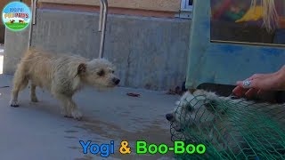 Download Yogi and Boo-Boo took refuge in a schoolyard and evaded rescue for weeks until... Video