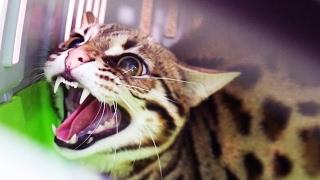 Download НОВЫЙ ЗЛОБНЫЙ ДИКИЙ КОТ. Отдали бенгальского кота F1 / ANGRY WILD CAT. We were given a Bengal cat F1 Video