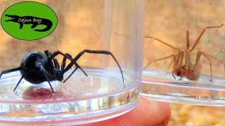 Download Black Widow VS Brown Recluse! - Which is Deadlier? Video