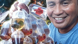 Download HARVESTING thousands of Betta fish Video