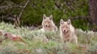 Download Black bear cubs vs wild coyotes - BBC wildlife Video