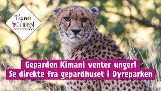 Download Geparden Kimani venter unger - følg henne live her! Video