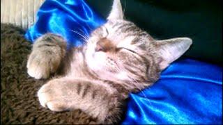Download こたつで眠るメッチャ可愛い子猫! 『子猫のこだまちゃん』 Video