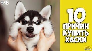 Download 10 ПРИЧИН КУПИТЬ ХАСКИ - Интересные факты! Video