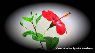 Download Hibiscus Flower opening in Slow motion, Japon Gulu Video