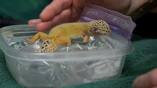 Download After Surgery, This Tiny Gecko Nestles Up on a Tiny Waterbed Video