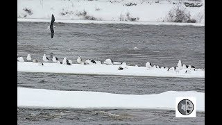 Download Rassemblement de Goélands marins/Gathering of Great Black-backed Gulls Video