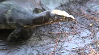 Download Slinky the Water Monitor Lizard update and Cameraman Freakout! Kamp Kenan Bonus Video