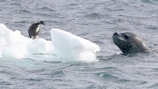 Download Leopard Seal vs Penguin Chick - Nature is amazing! Video