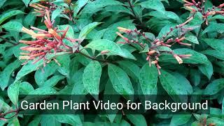 Download Viburnum tinus HD Video for Background Video