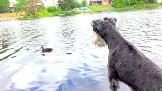 Download Duck Duck Doggie - Can't Swim Yet Video