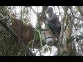 Download Chàng trai leo lên cây gỡ tảng mật 'khủng' trước triệu con ong Video