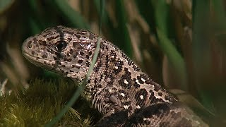 Download Reptiles of Britain | BBC Earth Video