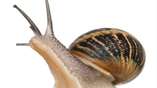 Download How to Care for Garden Snails - Pet Snail Video