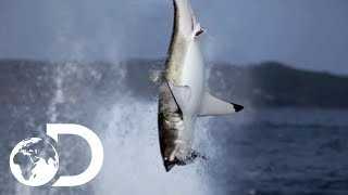 Download Great White Shark Makes A Splash In New Zealand Waters | Air Jaws: The Reign | SHARK WEEK 2018 Video
