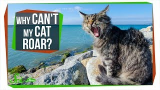 Download Why Can't My Cat Roar? Video