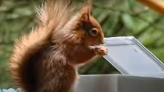 Download Red Squirrel extreme assault course - Clever Critters - BBC Animals Video
