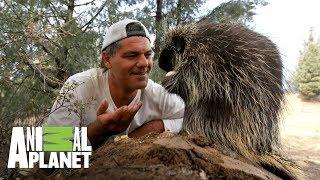 Download Curiosidades del puercoespín | Wild Frank en California | Animal Planet Video