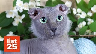 Download 25 Most BIZARRE Cat Breeds Ever Video