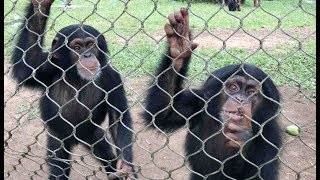 Download Racing Against Time to Build a Sanctuary for 19 Chimpanzees Video