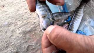 Download طفيل دموى يهاجم اسماك بحيرة قارون Video
