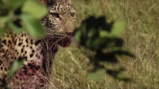 Download Young Leopard makes first Big Kill | BBC Earth Video