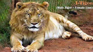 Download 17 Rare Hybrid Animals Which Exist Today Video