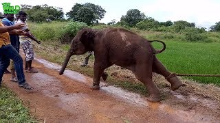 Download An angry baby elephant fights back when officers try to take it to a safe area Video