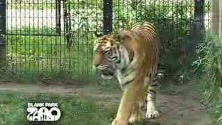 Download Siberian Tiger at the Blank Park Zoo Video
