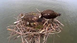 Download Osprey Cam Highlights 2016 Video