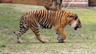 Download Bengal Tiger Roar and Grooming - HD Video Video