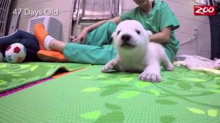 Download Polar Bear Cub Growing Up Fast at the Columbus Zoo Video