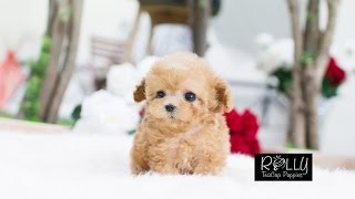 Download Adorable Cream Poodle True Doll Face :D Uggi - Rolly Teacup Puppies Video