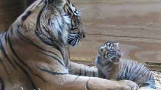 Download Tiger Cub Day 30 - Grooming by Mom Video