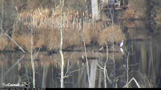 Download Great Egret On the Pond – March 29, 2017 Video