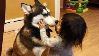 Download Baby Loves Siberian Husky Dog! Video