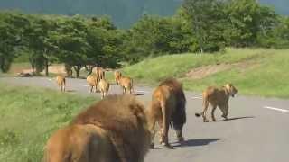 Download ライオンの出勤風景 Video
